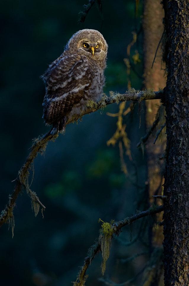 Большая серая сова, Альберта, Канада