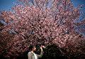 Цветение сакуры в Токио, Япония