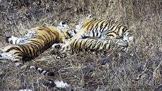 Тигрица воссоединилась с тигрятами в приморском центре реабилитации