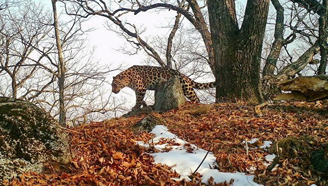 Леопард в парке Земля леопарда. Архивное фото