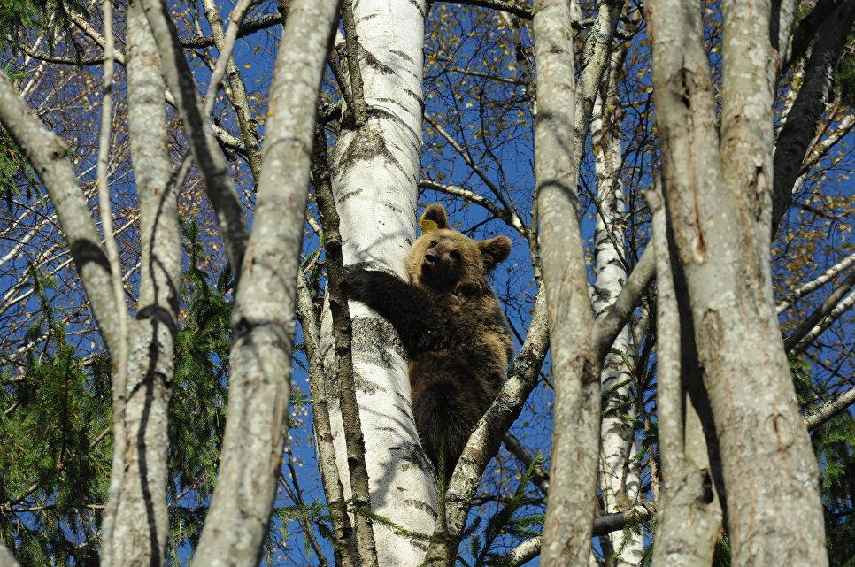 Медвежонок на прогулке, биостанция Чистый лес, деревня Бубоницы, Тверская область.
