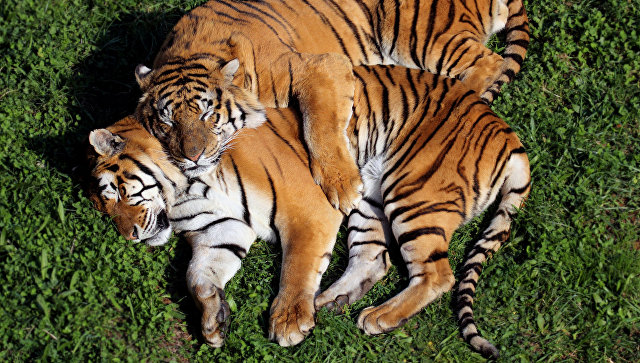 Тигры. Архивное фото
