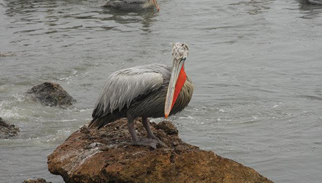 Кудрявый пеликан. Архивное фото