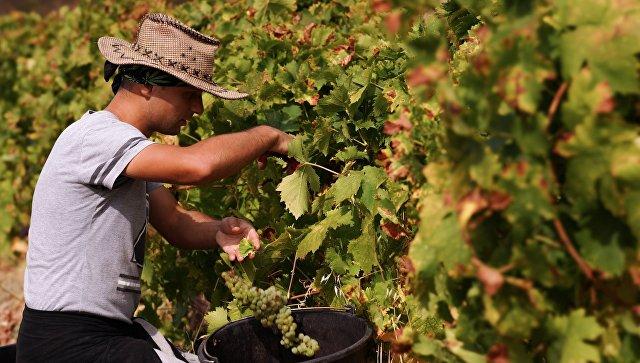 Сбор урожая на виноградниках винодельческого завода Массандра в Крыму. Архивное фото