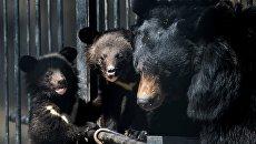 Гималайские медвежата и медведица Челси в вольере Новосибирского зоопарка