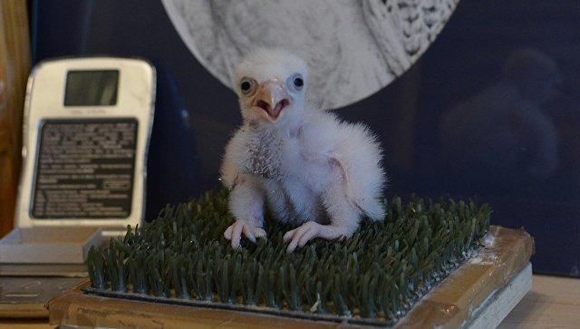 В России впервые вылупился птенец редкого белого кречета