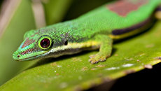 Мадагаскарский дневной геккон