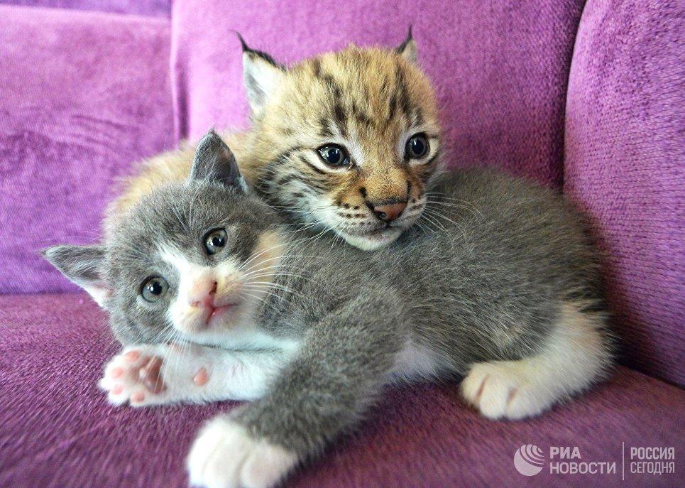 Рысенок, которого выкормила кошка по кличке Моника в зоопарке Чудесный недалеко от Уссурийска в Приморском крае, и ее детеныш