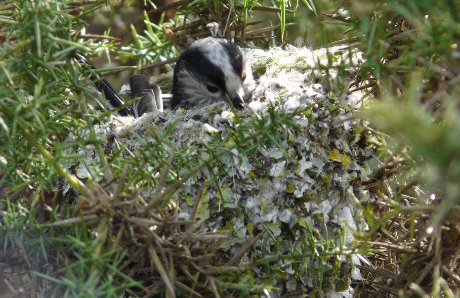 Шедевры из соломы и слюны: когда постройка гнезда — мужское дело
