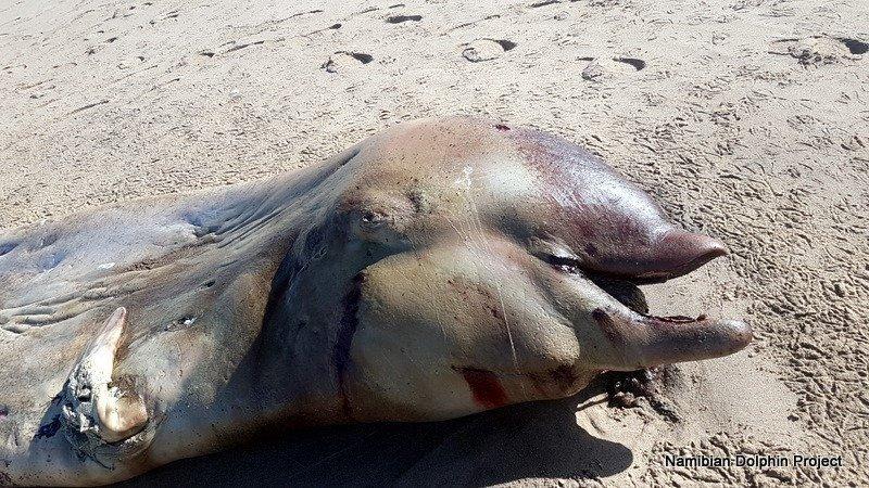Необычное существо, найденное на пляже в Намибии, оказалось клюворылом