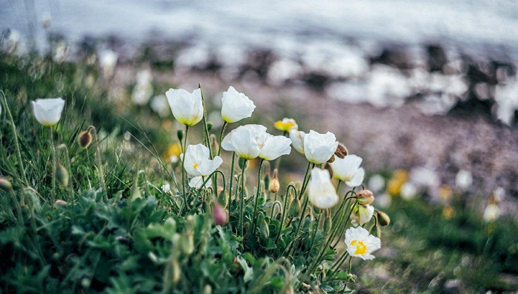 Белые амурские маки на мысе Ахлестышева, Приморский край