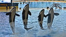Шоу косаток в океанариуме Лоро парка (Loro Parque) на испанском острове Тенерифе