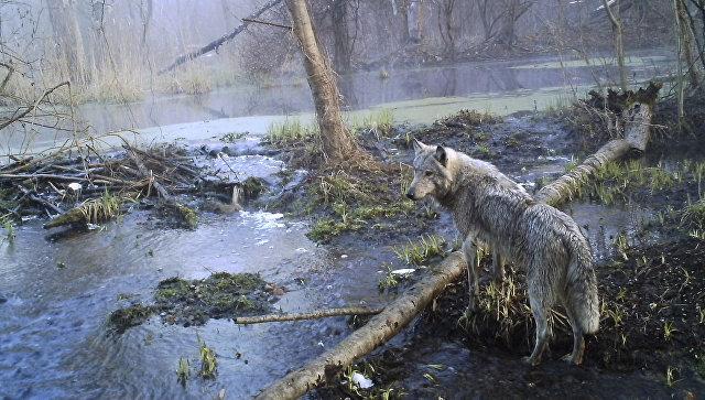 Волк в лесу Чернобыльской зоны отчуждения. Архивное фото