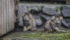 Котята манула в Новосибирском зоопарке. 10 июля 2018 года