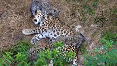 Котята переднеазиатского леопарда получили имена