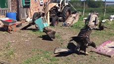 Когда коршуны соседствуют с курицами - пара из Ростова открыла приют для диких птиц