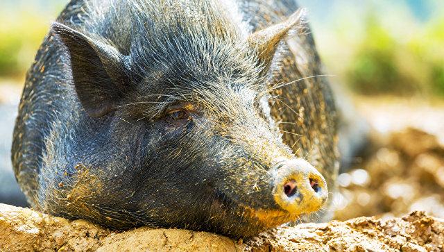 """Ученые впервые успешно пересадили """"очеловеченное"""" сердце свиньи"""