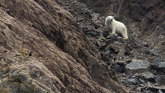 Белый медведь на Острове Врангеля в Чукотском автономном округе. Архивное фото