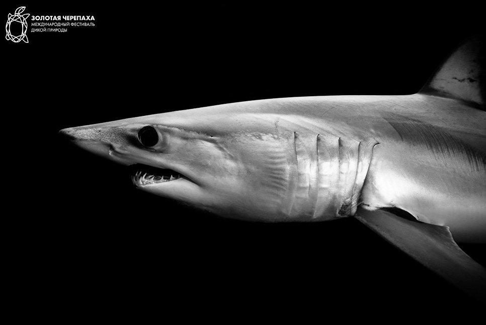 Акула-мако. Баратс Ромен/Франция