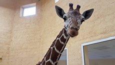 Жираф по кличке Сафари в зоопарке Белгорода. Архивное фото