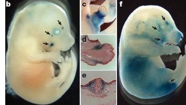 Эмбрионы шимпанзе и мыши, с человеческими пробелами в генах, отвечающих за вибриссы