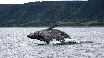 Серый кит. Архив