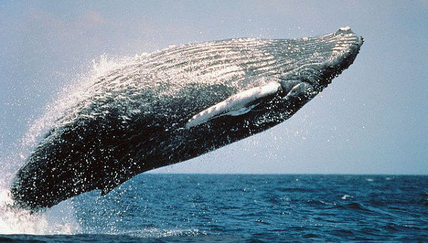 Прыжок горбатого кита. Архивное фото