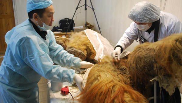 Палеонтологи исследуют мамонтенка. Архив