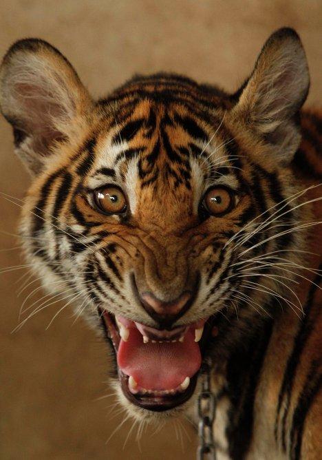 Тигр обнажает свои клыки, Бангкок