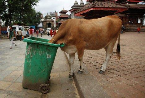 Корова есть из мусорного бака в Катманду