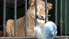 Африканская львица Тася в Ленинградском зоопарке