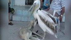 Белый пеликан играет с собакой