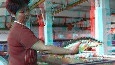 Получение оплодотворенной икры осетров на рыбоводном заводе Лебяжий