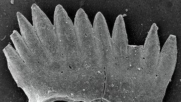 Зубы примитивных хордовых существ - конодонтов (Conodonta), обитавших в морях на месте южного Китая в Триасовом периоде