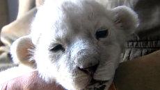 Новорожденный львенок-альбинос питается молоком собаки