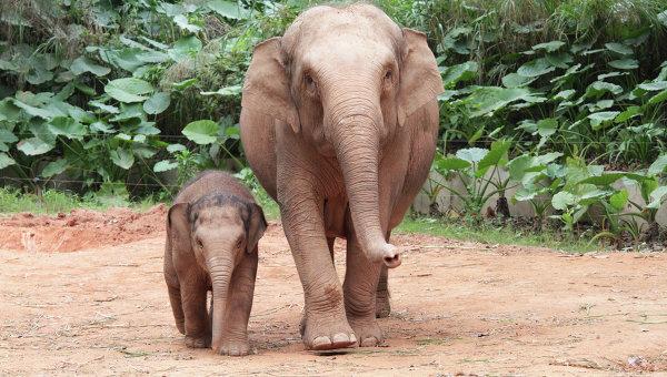 Дикие слоны в китайском заповеднике. Архивное фото