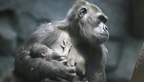 Прибавление вМосковском зоопарке: угориллы родился детёныш