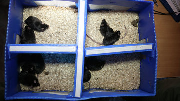 Мыши, выжившие после полета российского биологического спутника Бион-М1