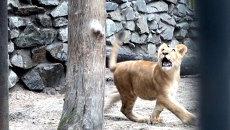 Лилигренок Киара после операции бегает в открытом вольере и учится прыгать