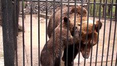 Медвежонок сосет молоко и кусает маму в зоопарке Новосибирска