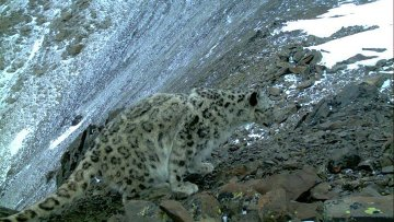 Беременная самка ирбиса впервые попала в фотоловушку на алтайском хребте Чихачева