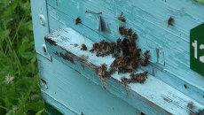 Пчелы и ульетерапия: пасека новосибирского министра