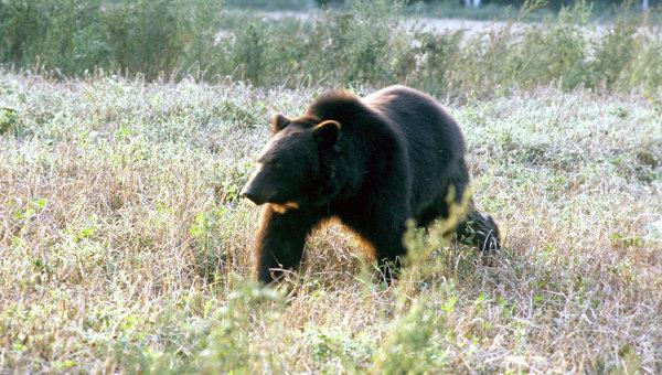Медведи поселились нагородской свалке вЮгре