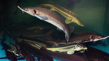 Рыбы осетровых пород. Архивное фото