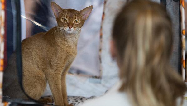 Кошка породы Абиссинская на выставке ИнфоКот-2013 в Москве на ВВЦ