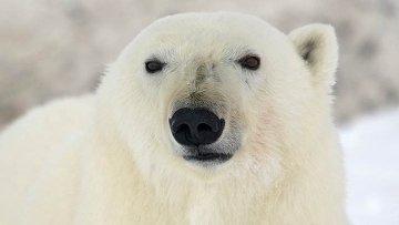 Белый медведь вблизи чукотского села Рыркайпий, архивное фото