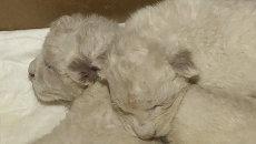 Новорожденных белых львят кормили из бутылочки в зоопарке Тбилиси