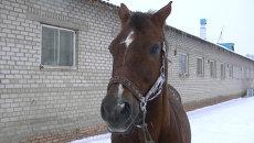 Выносливый сладкоежка: томский конь-чемпион ждет Нового года