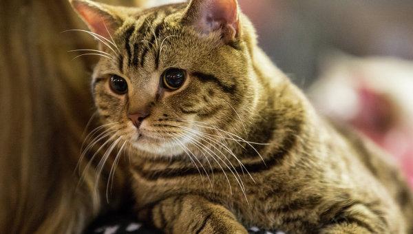Кошка на выставке во Владивостоке. Архивное фото