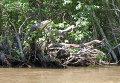 Миссисипский аллигатор на дереве